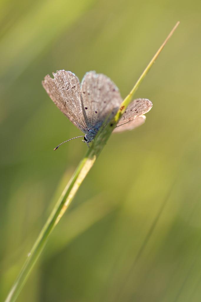 Impression - Papillon dans l'Herbe